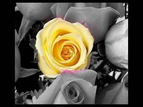 La Rosa E Il Tulipano Pinocchio Non Cè Più